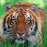 Гороскоп на 2020 год: Тигр